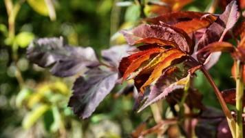 Fresh rose leafs